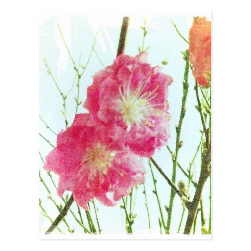 Peach Blossom Closeup Postcard