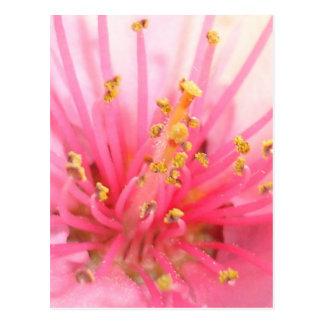 Peach Blossom Macro Postcard
