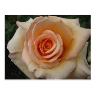 Peach colored rose postcard