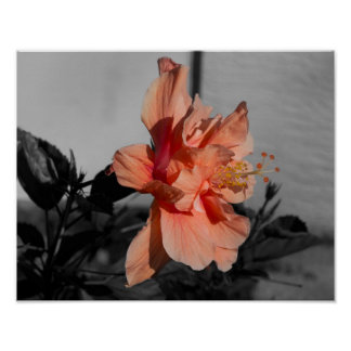Peach Double Hibiscus Flower Selective Color Photo Poster