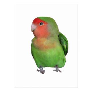 Peach-faced Lovebird Postcard