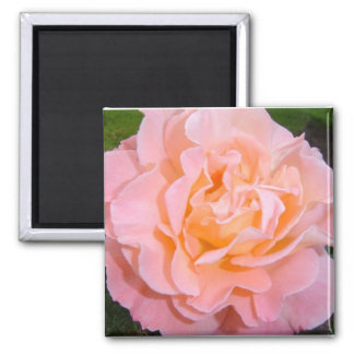 Peach Garden Rose 2 Inch Square Magnet