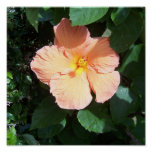 Peach Hibiscus Print