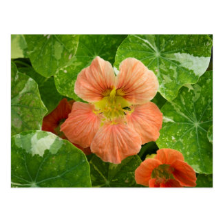 Peach Nasturtium Flower Postcard