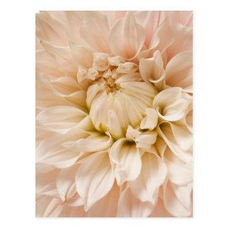 Peach, Pink, White, & Cream Dahlia - Dahlias Postcard
