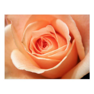 Peach Rose Apricot Roses Flowers Floral Photo Postcard