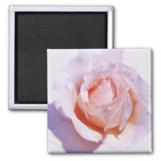 Peach Rose Magnet