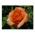 Peach Rose Orange Floral Postcard