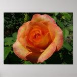 Peach Rose Orange Floral Poster