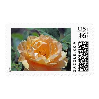 Peach Rose Postage Stamp