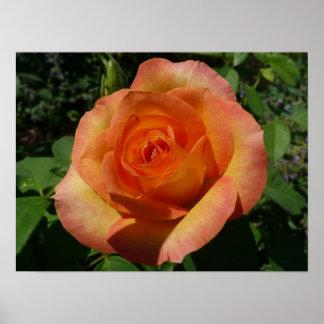 Peach Rose Pretty Floral Poster