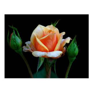Peach Rose & Rosebuds Postcard
