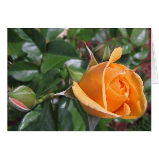 Peach Rosebud Card