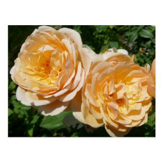 Peach Roses Postcard