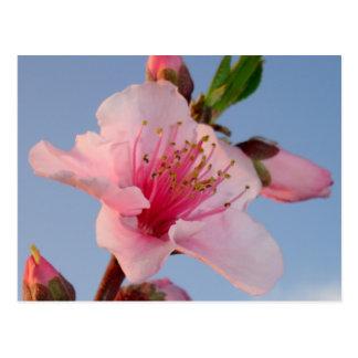 Peach Tree At Dawn Postcard
