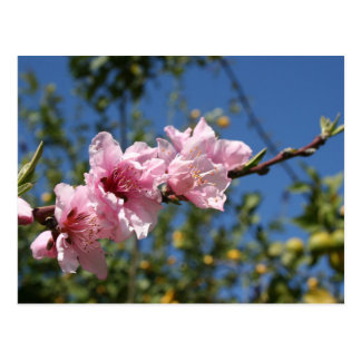 Peach Tree Blossom Against Blue Sky Postcard