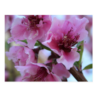 Peach Tree Blossom Close Up Postcard