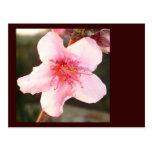 Peach Tree Blossom Post Card