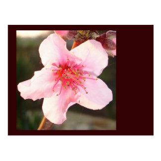 Peach Tree Blossom Postcard