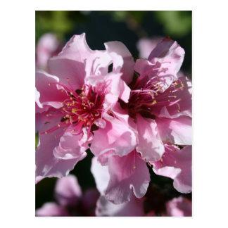 Peach Tree Blossom With Garden Background Postcard