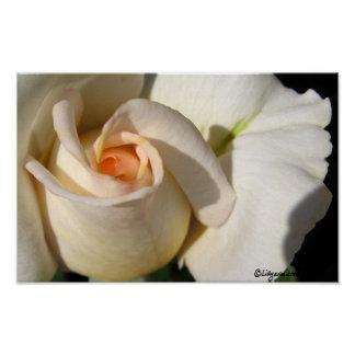 Peach White Rose Bud Poster