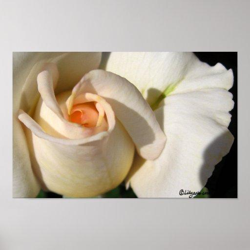 Peach White Rose Bud Poster