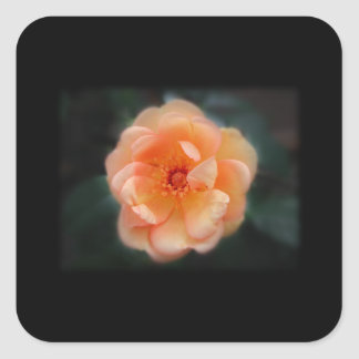 Peach - Yellow rose, on black. Square Sticker