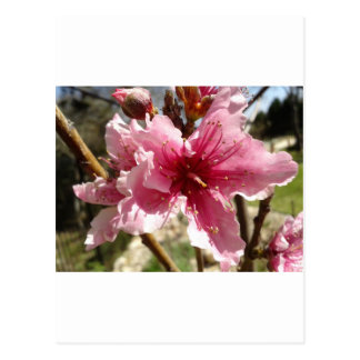Peachblossom.jpg Postcard
