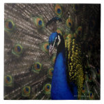 Peacock 2 large square tile
