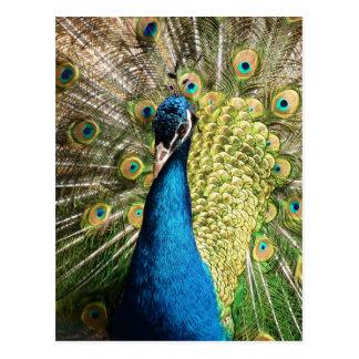peacock-377 postales