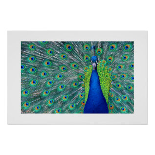 Peacock#3-poster Poster at Zazzle