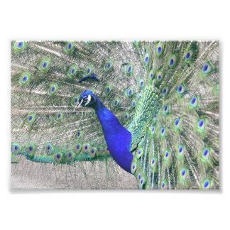 Peacock Alert Photographic Print