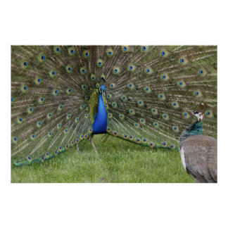 Peacock and Peahen Poster
