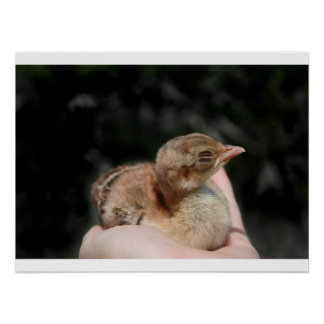 Peacock baby chick in hand poster