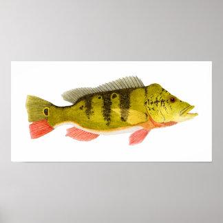 Peacock Bass Print