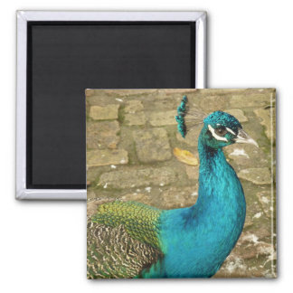 Peacock Beautiful Blue Bird Nature Photography Magnet