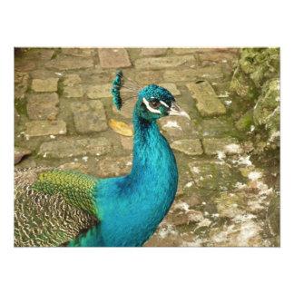 Peacock Beautiful Blue Bird Nature Photography Photo Print