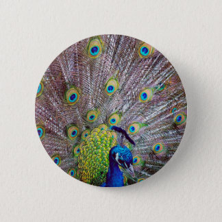 Peacock bird feathers pinback button