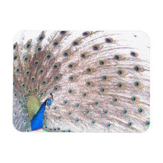 Peacock Bird Wildlife Animal Feathers Magnet