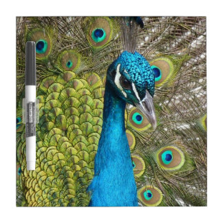 Peacock bird with beautiful feathers dry erase whiteboards