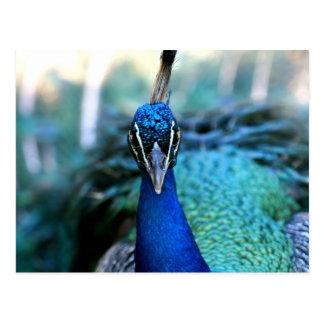 Peacock blue head on image postcard