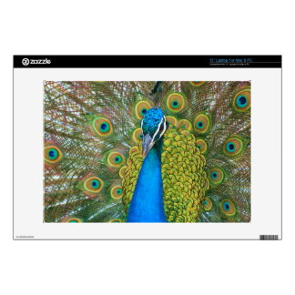 "Peacock Blue Head with and Colorful Tail Feathers 13"" Laptop Skin"