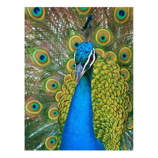 Peacock Blue Head with and Colorful Tail Feathers Postcard