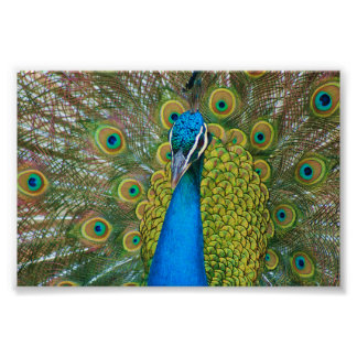 Peacock Blue Head with and Colorful Tail Feathers Print