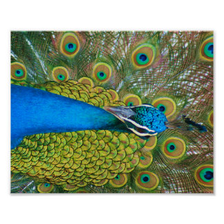 Peacock Blue Head with and Colorful Tail Feathers Poster
