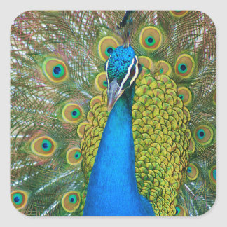 Peacock Blue Head with and Colorful Tail Feathers Square Sticker
