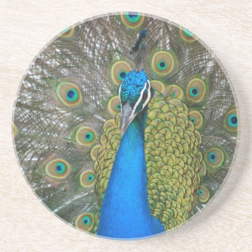 Peacock Blue Head with and Tail Feathers Beverage Coaster