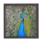 Peacock Blue Head with and Tail Feathers Premium Gift Box