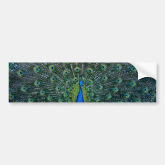 Peacock, bumper sticker