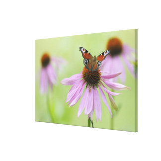 Peacock butterfly (Inachis io) drinking nectar Canvas Print